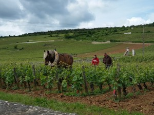 2015-05-20 horses working the Burgundian vineyardsjpg